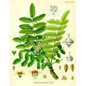 plante oliban